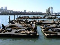 Multidão do leão-marinho Fotografia de Stock