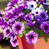 Multiflora Petunias Royalty Free Stock Photography
