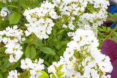 Multiflora Rosa Fotografia Stock