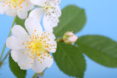 Multiflora Rose Stock Photo