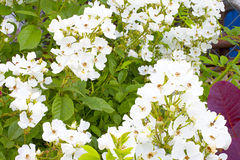 Multiflora rose Stock Photography