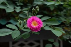 Multiflora Thunb της Rosa μεταβλητές carnea Thory Στοκ Εικόνες