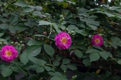 Multiflora Thunb de Rosa var carnea Thory Fotografía de archivo libre de regalías