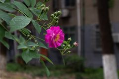 Multiflora Thunb de Rosa var carnea Thory Imagenes de archivo