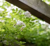 Multiflora Thunb-Rosa Jacq chinensis de Rosa Image stock