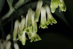 Multiflorum de Polygonatum Photo stock