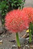 Multiflorus del Haemanthus (Tratt ) Flor del lirio de la Martyn-sangre Fotos de archivo