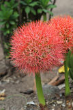 Multiflorus di haemanthus (Tratt ) Fiore del giglio del Martyn-sangue Fotografie Stock
