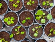 Multipel fortplantade pannkakaväxtklipp i svarta plast- krukor arkivfoton