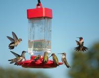 MultipelHummingbirds på förlagemataren Royaltyfri Bild