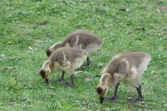 Multiple baby geese or goslings grazing in the grass. A common sight in spring royalty free stock image