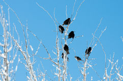 Birds in an icy tree Royalty Free Stock Photo