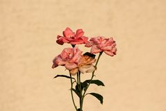 Multiple bright to dark pink roses with newly open fresh petals and old starting to fall off growing on stems with pointy dark. Green leaves on house wall stock images