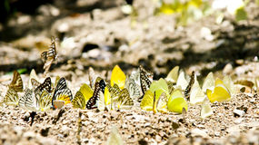 Multiple Butterfly Royalty Free Stock Photos