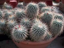 Multiple of cactus Royalty Free Stock Images