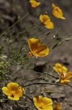 Multiple California poppies royalty free stock image