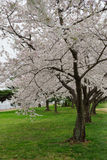 Multiple cherry trees in white blossom - vertical Stock Image
