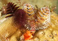 Multiple Christmas Tree Worms Royalty Free Stock Photo