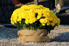 Multiple Chrysanthemum or Chrysanths flowering plants with fully open bright yellow flowers in single flower pot planted as stock images
