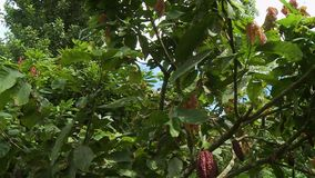 Multiple Cocoa Trees and Pods. Handheld, tilting up, medium close up shot of cocoa trees and pods stock video footage