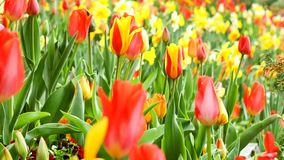 Multiple Colored Tulips in a Garden Blowing in the Wind stock video