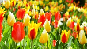Multiple Colored Tulips in a Garden Blowing in the Wind stock footage