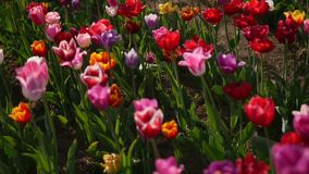 Multiple colored tulips in a garden blowing in the wind.  stock video