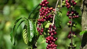 Multiple colors of coffee berries and flowers