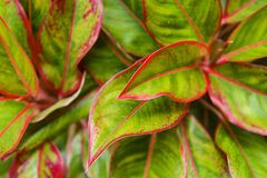 Multiple colors leave detail vivid red and green color on leaf surface of Aglaonema stock photos
