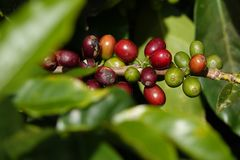 Free Multiple Colors Of Coffee Berries And Flowers Royalty Free Stock Photo - 135256425