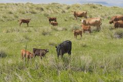 Multiple Cows Grazing In A Green Field 2. Multiple cows, of different colors, grazing in a green field on a farm stock image