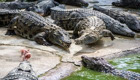 Multiple crocodiles fighting for food royalty free stock photos