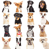 Multiple Crossbreed Dog Closeups. Collage of close-up portraits of sixteen different crossbreed dogs isolated on white stock photography