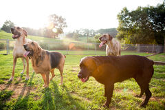 Multiple Dogs in Yard Royalty Free Stock Photos