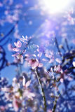 Multiple exposure of almond trees in full bloom Royalty Free Stock Photography