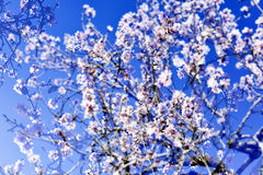 Multiple exposure of almond trees in full bloom Royalty Free Stock Photo