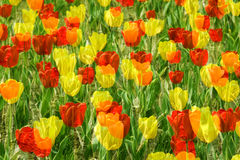 Multiple exposure tulip Royalty Free Stock Photography