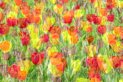 Multiple exposure tulip Royalty Free Stock Image