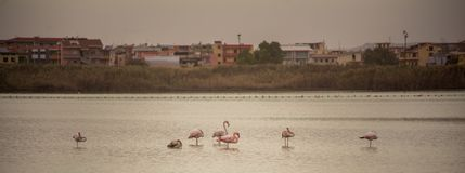 Multiple Flamingos in a lake near the center of a City stock photo