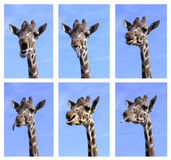 Multiple Funny Giraffe Close Up Photos. Multiple Photo of Funny Giraffe Close Up Portraits Royalty Free Stock Images