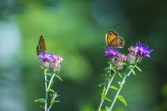 Multiple Gatekeerper butterflies royalty free stock photos