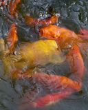 Multiple gold and yellow. Coy fish maneuvering for position Stock Photos