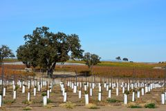 Paso Robles Fall Vineyard with Oak Tree and amazing autumn colors. Multiple grape varietals change colors at different times during the fall season creating a Royalty Free Stock Photo