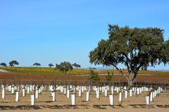 Paso Robles Fall Vineyard with Oak Tree and amazing autumn colors. Multiple grape varietals change colors at different times during the fall season creating a Stock Photo