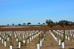 Paso Robles Fall Vineyard with Oak Tree and amazing autumn colors. Multiple grape varietals change colors at different times during the fall season creating a Stock Photography