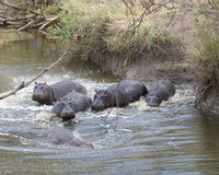 Multiple hippos partially submerged in water crashing into the river from land. In the Serengeti National Park, Tanzania Stock Photo