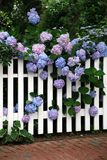 Multiple Hydrangea Blooms. Multiple lavender and blue hydrangea blooms growing through and over a white wooden fence in summer Royalty Free Stock Photography