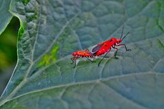 Multiple insects love and affection top of ladies finger plant Stock Image