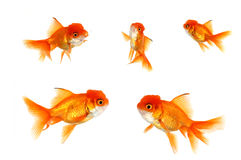 Multiple Orange Goldfish Royalty Free Stock Photography