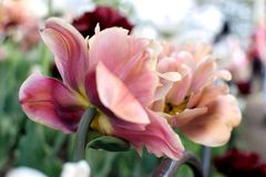 Two Old Pink Double Flowering Tulips from Closeup. Multiple packed petals on double tulip variety as seen from behind during annual Ottawa Tulip Festival. Blooms Stock Photo